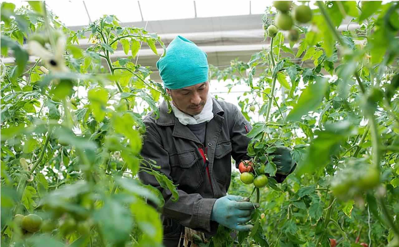 トマト生産者の石野さん